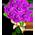 Purpurrosenstrauß